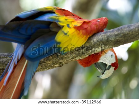 scarlet macaw looking over tree branch, costa rica