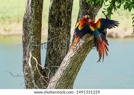 Scarlet Macaw Love - their mating ritual in an almond tree near Carate, Costa Rica (Osa Peninsula).   Foto stock ©