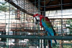 Scarlet macaw or ara macao parrot sitting in a cage at zoological garden. Keeping wild birds and animals prisoners in zoo for tourist entertainment. Unethical birdwatching of caged tropical animal.