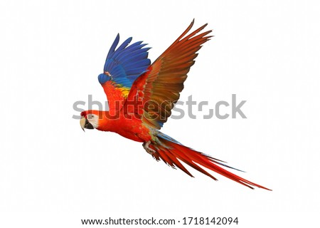 Photo of  Scarlet macaw parrot flying isolated on white background.