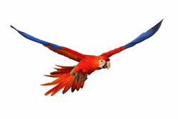 Scarlet macaw parrot isolated on white background.