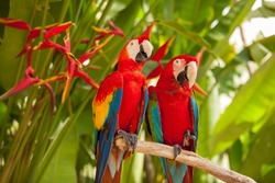 Scarlet macaw parrots on the tree