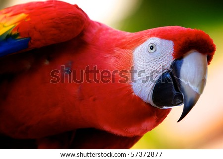 Scarlet macaw peering inquisitively.  Landscape orientation. - stock photo