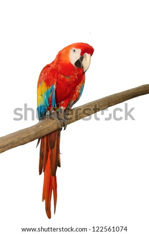 Scarlet macaws on white background