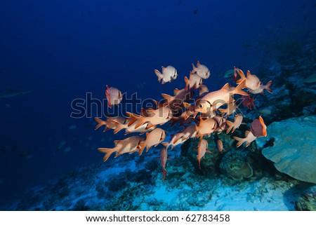 Scarlet soldierfish (Myripristis pralinia) - stock photo