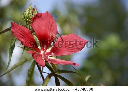 Scarlet Swamp Hibiscus