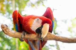 Scarlett Macaw bird parrot looking curious in Macaw Mountain, Copan Ruinas, Honduras, Central America