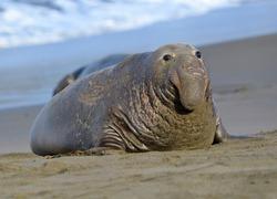 scarred adult elephant seal on beach, big sur, california