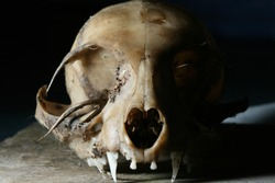 Scary cat skull on dark background, Rotten cat skull.