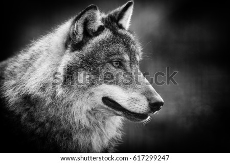 Scary dark gray wolf  (Canis lupus) #617299247