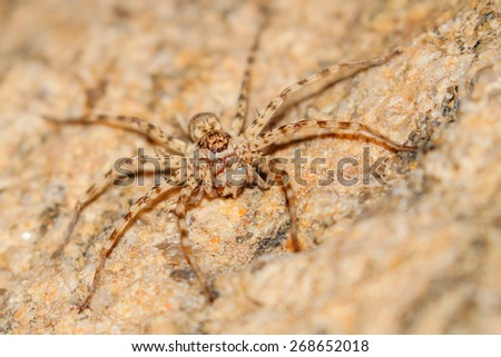 Scary desert spider with cricket to eat, South Africa