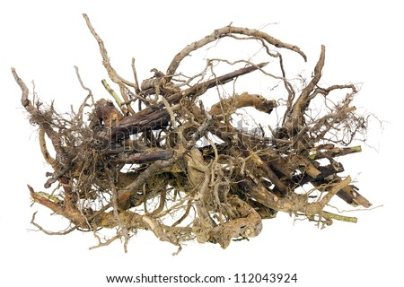 Scary isolated gnarled roots for Halloween concept