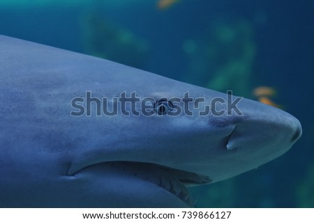 Scary look of anger white shark in the ocean