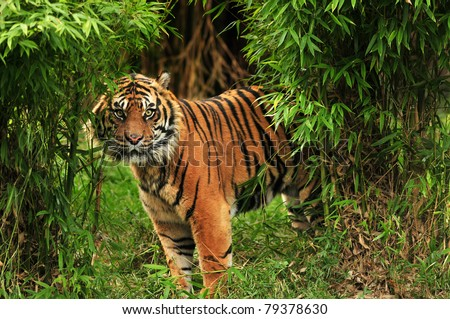 Scary looking male royal bengal tiger staring towards the camera from inside the jungle