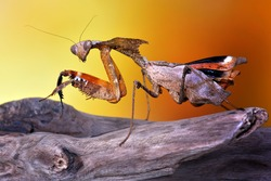 Scary Malaysian Dead Leaf Mantis/Praying Mantis/ (Deroplatys Dessicata) extreme sharp and detailed portrait macro