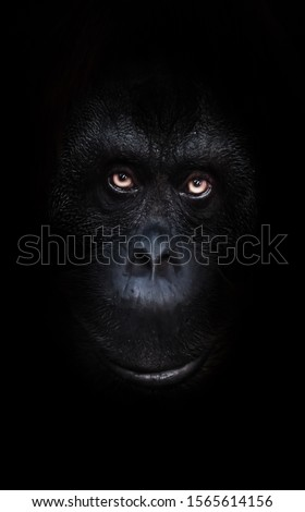 Scary orange luminous eyes on the black face of a monkey in a black night, a frightening look that embodies fears and phobias. #1565614156