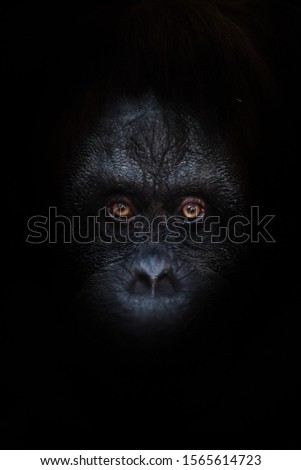 Scary orange luminous eyes on the black face of a monkey in a black night, a frightening look that embodies fears and phobias. #1565614723
