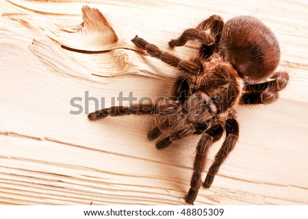 Scary spider on wood