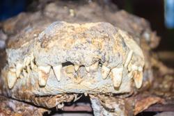 Scary stuffed crocodile head with fangs. Taxidermy dead crocodile in the public park.