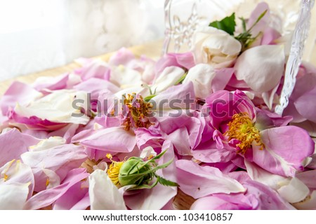stock photo : Scattered petal pink Bulgarian oleaginous rose