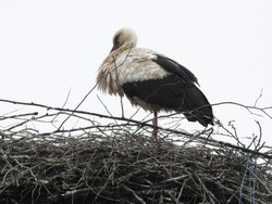 Scene from a Russian village with a stork nest and a resting white stork