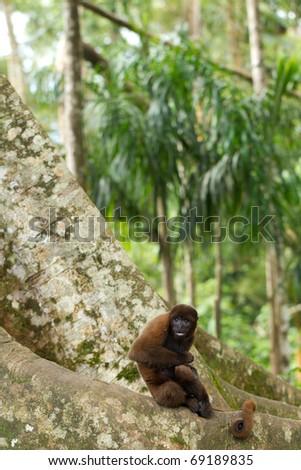 Scene from ecuadorian jungle, chorongo mokey against a huge matapalo tree.