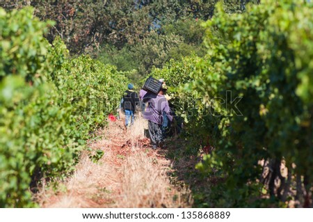 Scene from the harvest season in a vineyard in stellenbosch, South Africa