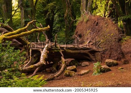 Scene in a forest park, big fallen tree, Warm sunrise light . Barna woods, Galway city, Ireland Stock fotó ©