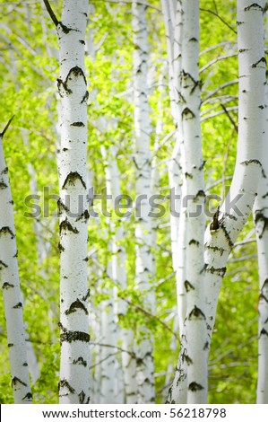 scene in summer birch woods