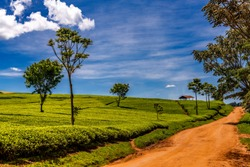Scene of extensive plantation on tea estate, beside dirt road, Nandi Hills, West Kenya highlands. Bushes are well manicured. Trees have been planted to provide shade and windbreak. Camellia sinensis.