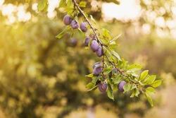 scene of garden plum tree isolated. orchard plums fruit. branch of plum fruit.