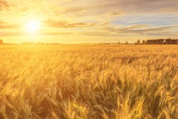 Scene of sunset or sunrise on the field with young rye or wheat in the summer with a cloudy sky background. Landscape.