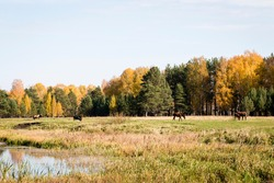 Scenery. Countryside. Sunny, bright, autumn day. A meadow with old grass. In the distance there is a forest with yellow deciduous trees and green pines. Pale blue sky. In the foreground is the shore o