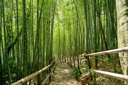Scenery of Bamboo forest in spring surrounded by silence