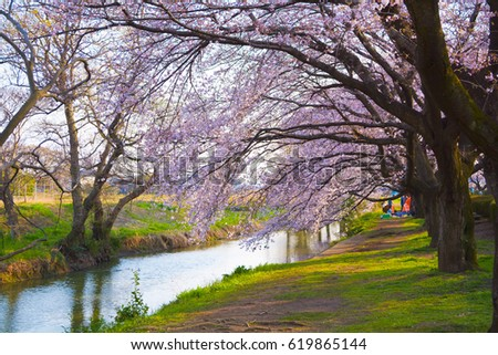 Scenery of cherry blossom trees during spring 2017 at Kawagoe in Japan - Shutterstock ID 619865144