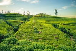 scenery of tea plantation in Haputale, Hill Country, sri lanka