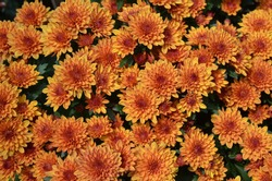 Scenery of the portrait background of chrysanthemum flowers for chinese new year