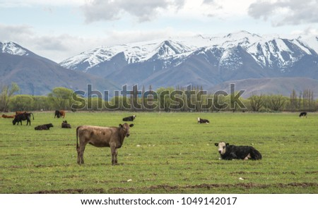 Scenery view of Cow farming in South Island, New Zealand. #1049142017