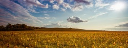 scenic field of  blooming sunflowers, spectacular summer landscape in Europe, panoramic nature view