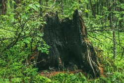 Scenic forest landscape with big rotten tree stump among wet lush vegetation. Vivid forest scenery with large burnt stump among bushes with droplets on leaves. Wild flora with drops of dew on grass.