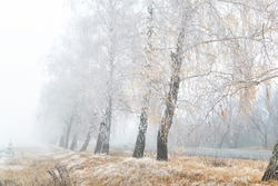Scenic golden colored autumn birch tree alley near road with yellow leaves and dry frozen grass covered by first hoar frost snow and morning fog mist. Beautiful november nature outdoor background
