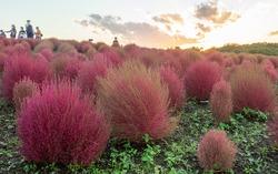 Scenic landscape of kochia bushes on flower hill during golden hour