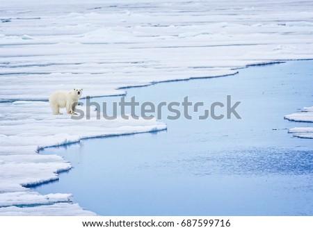 Scenic landscape of polar bear on melting ice flow #687599716