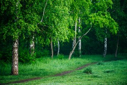 Scenic landscape with footpath among nice trees in park. Green scenery with pathway among beautiful birches in forest. Wonderful nature view to birch grove. Amazing summer paysage. Fresh greenery.