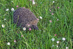 Scenic landscape with hedgehog who is watching on photographer on the green grass and blooming flowers background