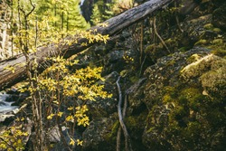 Scenic mountain landscape with yellow leaves on small tree in autumn forest in golden sunshine. Colorful alpine scenery with wild flora of mountains in autumn colors. Yellow tree near rocks with moss.