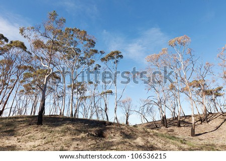 Scenic of trees damaged by bushfire - stock photo
