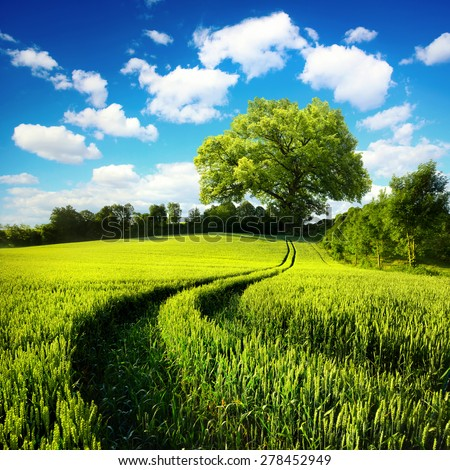 Scenic rural landscape with a green wheat field and tracks leading to a huge tree, with blue sky and white clouds in the background