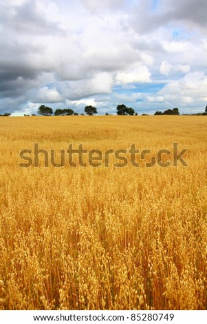Scenic rural landscape with fields of wheat