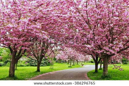 Stock Photo Scenic Springtime View of a Winding Garden Path Lined by Beautiful Cherry Trees in Blossom